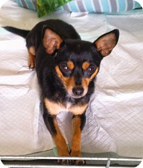 Chihuahua Dog for adoption in Waller, Texas - Paco