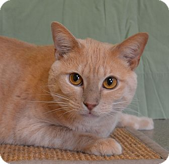 Domestic Shorthair Cat for adoption in Larned, Kansas - Tim