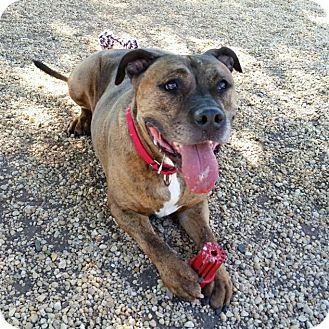 Mastiff/Bullmastiff Mix Dog for adoption in Sewaren, New Jersey - Codo