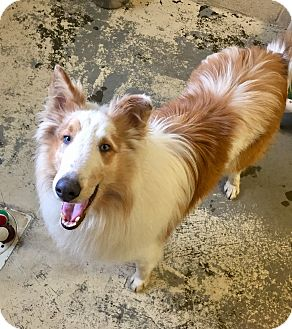 Collie Mix Dog for adoption in Greensburg, Pennsylvania - Pippin
