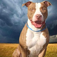 Pit Bull Terrier Mix Dog for adoption in Fairfield, California - HUCKLEBERRY