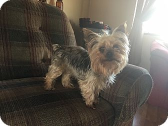 Yorkie, Yorkshire Terrier Mix Dog for adoption in Mentor, Ohio - Sparky 4yr Adopted