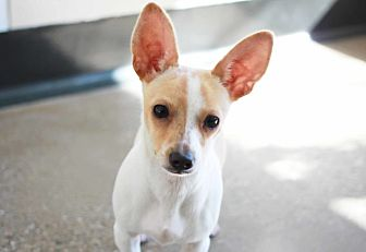 Chihuahua/Terrier (Unknown Type, Small) Mix Puppy for adoption in Redwood City, California - Wendy