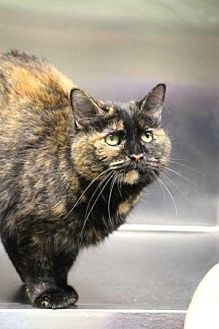 American Shorthair Cat for adoption in Batavia, Ohio - Marsha
