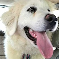 Great Pyrenees Dog for adoption in Beacon, New York - Cindy Lou