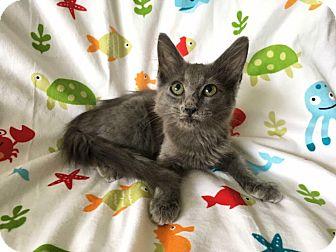 Maine Coon Kitten for adoption in Zolfo Springs, Florida - Smokey