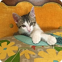 Adopt A Pet :: Eclipse - St. Louis, MO