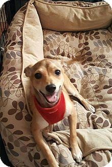 Corgi/Chihuahua Mix Dog for adoption in Riverside, California - Rico
