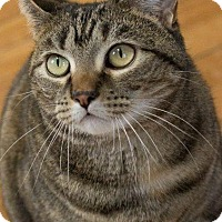 Domestic Shorthair Cat for adoption in Lunenburg, Vermont - Little