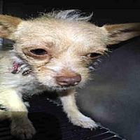 Adopt A Pet :: PRETTY GIRL - San Antonio, TX