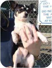 Chihuahua Mix Dog for adoption in Hammonton, New Jersey - Pablo