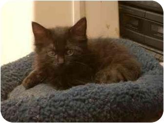 Domestic Mediumhair Kitten for adoption in Davis, California - Mike
