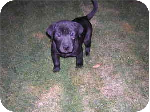 Labrador Retriever/American Pit Bull Terrier Mix Puppy for adoption in Vancouver, Washington - Apollo