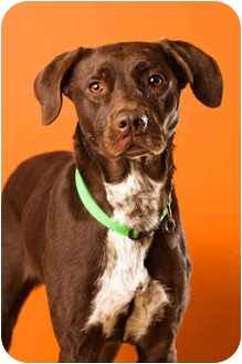 Pointer Mix Dog for adoption in Portland, Oregon - Marge Simpson