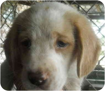 Labrador Retriever/Hound (Unknown Type) Mix Dog for adoption in Varnville, South Carolina - Wilma