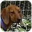 Photo 1 - Redbone Coonhound Dog for adoption in Buffalo, New York - Roxy