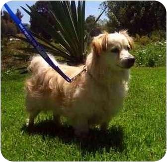 Tibetan Spaniel Mix Dog for adoption in San Diego, California - Tiny