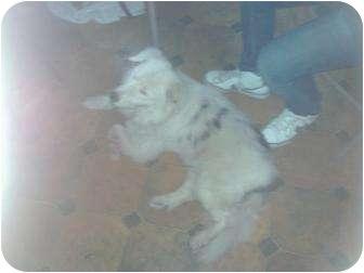 Australian Shepherd Mix Dog for adoption in Xenia, Ohio - Sammy (blind/deaf)*courtesy