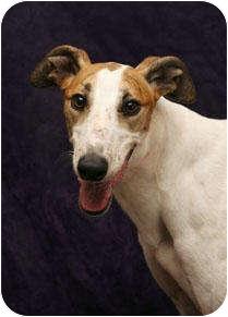 Greyhound Dog for adoption in West Palm Beach, Florida - Fantasy