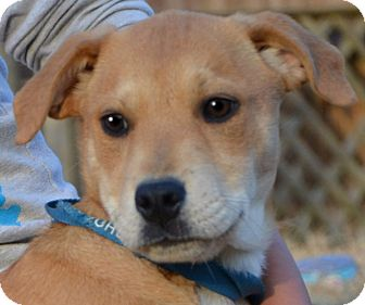 Labrador Retriever Mix Puppy for adoption in Plainfield, Connecticut - Issy