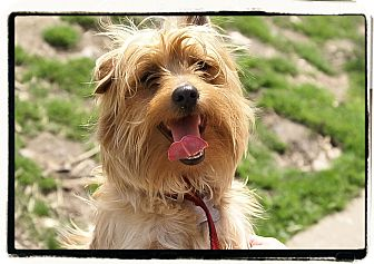 Yorkie, Yorkshire Terrier Mix Dog for adoption in Elmwood Park, New Jersey - Charlie