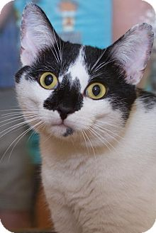 Domestic Shorthair Cat for adoption in Irvine, California - Jamie