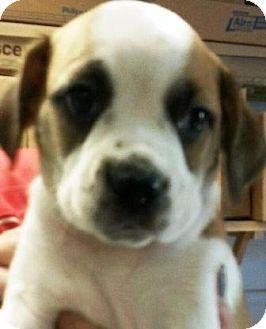 "Pug/Beagle Mix Puppy for adoption in Oswego, Illinois - I'M ADPTD Pugl Trouble ""Penny"""