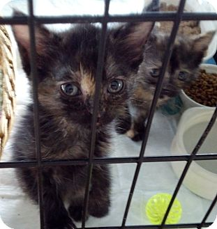 Maine Coon Kitten for adoption in Dallas, Texas - Bubbles and Troubles