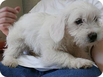 Wheaten Terrier Mix Puppy for adoption in Avon, New York - Mack