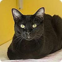 Adopt A Pet :: Licorice - Lancaster, MA