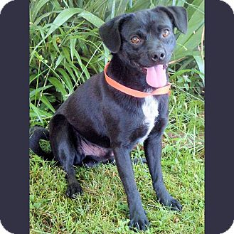 Pug Mix Dog for adoption in Red Bluff, California - BOSTON