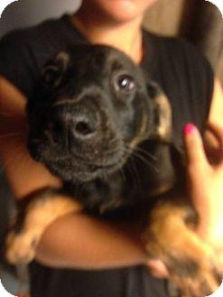 Labrador Retriever Mix Puppy for adoption in Lima, Pennsylvania - Harper