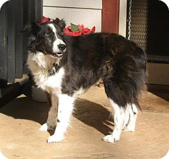 Border Collie Mix Dog for adoption in Corning, California - CARLY