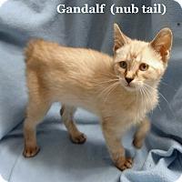 Adopt A Pet :: Gandalf - Bentonville, AR