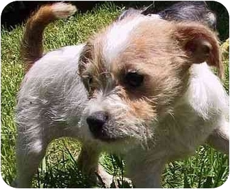 Bichon Frise/Jack Russell Terrier Mix Puppy for adoption in Mountain Home, Arkansas - Beamer