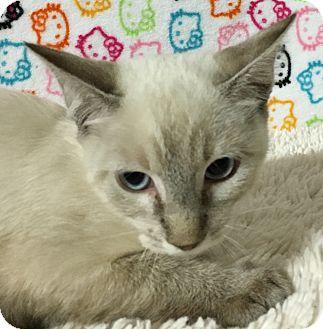 Siamese Kitten for adoption in Fountain Hills, Arizona - YANG