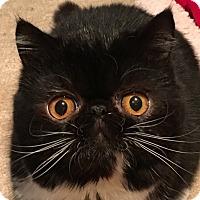 Adopt A Pet :: Selina - Beverly Hills, CA