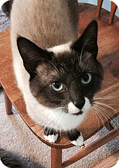 Snowshoe Cat for adoption in Flowery Branch, Georgia - Frosty