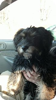 Shih Tzu Mix Puppy for adoption in House Springs, Missouri - AJ