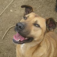 Boxer/Shepherd (Unknown Type) Mix Dog for adoption in Harrisburgh, Pennsylvania - Patty