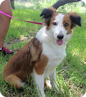 Collie/Sheltie, Shetland Sheepdog Mix Dog for adoption in Monroeville, Pennsylvania - EMMA