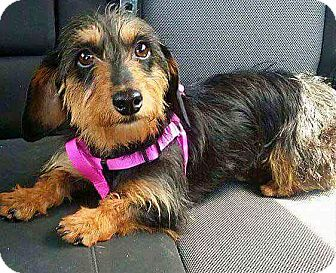 Dachshund Dog for adoption in Andalusia, Pennsylvania - Lainie