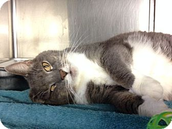 Domestic Shorthair Cat for adoption in Voorhees, New Jersey - Majel-declawed