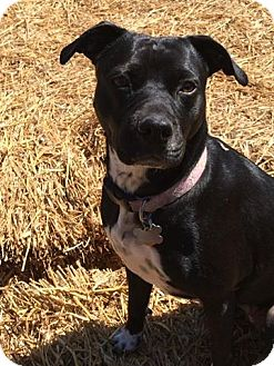 Pit Bull Terrier Mix Dog for adoption in Winchester, Virginia - Echo