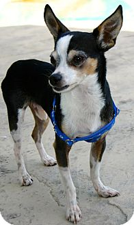 Chihuahua Dog for adoption in Ft Myers Beach, Florida - 7.5LBS of pure Love!!