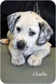 Dalmatian/Labrador Retriever Mix Puppy for adoption in Mandeville Canyon, California - Charlie