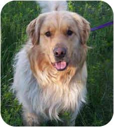 Golden Retriever Dog for adoption in Alpena, Michigan - Shaq