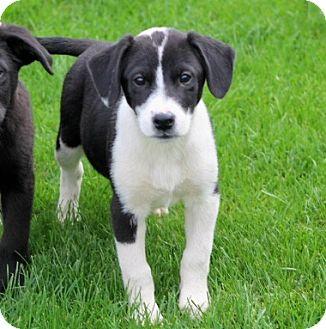 Labrador Retriever/Border Collie Mix Puppy for adoption in Liberty Center, Ohio - Joanie