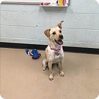 Adopt A Pet :: Blondie - Nashville, TN