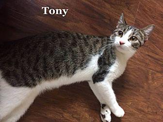 Domestic Shorthair Cat for adoption in Bentonville, Arkansas - Tony